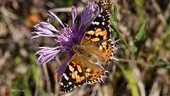 2607 Distelfalter (Canonklick) Tags: macro nature butterfly falter schmetterling distelfalter canon6d