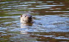 Adult male otter swimming, England (Xuberant Noodle) Tags: life uk wild england dog male animal river mammal shropshire adult wildlife teeth severn shrewsbury otter hunt