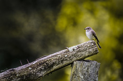 Spotted Flycatcher (bayramkus) Tags: nature birds animals wildlife flycatcher ku ornito hayvan spottedflycatcher doa ornitophotography canl vahiyaam kufotorafl