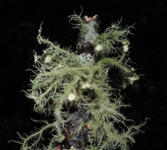 Bushy Beard Lichen (Usnea strigosa) (Turtlerangler) Tags: tennessee lichen np sevier usnea greatsmokymts