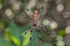 Florida Spider (strjustin) Tags: macro beautiful canon spider florida spiderweb disney bugs 60mm webs verobeach 60d