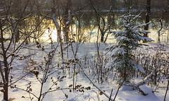Winter scene by the Rideau river (lezumbalaberenjena) Tags: winter hiver invierno frio cold froid nieve niege snow white blanco blanca blanc blanche ottawa rideau river trail 2016 december diciembre decembre conifer pine pino spruce