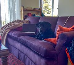 Cortana (Tony Webster) Tags: california cortana sanfrancisco couch dog unitedstates us