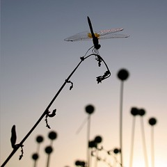 Dragonfly at Sunset, Sardinia (pom'.) Tags: canoneos400ddigital 2009 july bosamarina sardegna sardinia italia italy europeanunion 100 150 200 5000