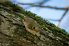 Goldcrest (ellie.taylor30) Tags: anton hampshire hiwwt sigma sigma150600 nikonnaturephotography nikon nature flickrnature bird
