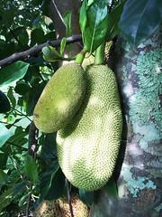 (georgiehunter) Tags: jackfruit haiku maui
