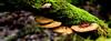 Blushing Bracket Daedaleopsis confragosa (Joan's Pics 2012) Tags: blushingbracket fungi common pores hard pink red penningtoncountrypark explore