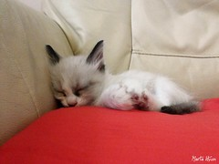 Little Max sleeping (Marta Hyun) Tags: cat kitty gat gatet gato durmiendo sleep sleeping cute beautiful purrfect animals animales gatete dormir dormido precioso adorable