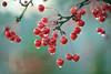 Red Berries in the Rain (lfeng1014) Tags: redberries redberriesintherain waterdroplets berries rain raining macro macrophotography depthoffield dof canon5dmarkiii 100mmf28lmacroisusm lifeng closeup bokeh shinyredberries