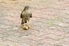 DSC_0670.jpg (mrplmarie) Tags: france auvergne oiseaux rapaces paulhaguet lieux hauteloire epervierdeurope