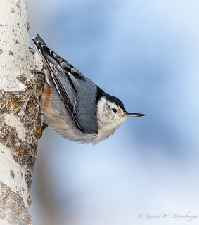 White-breas.ed Nuthatch
