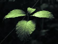 Leaves (Netsrak (on/off)) Tags: light shadow licht schatten leaf leaves blatt blätter nahaufnahme closeup