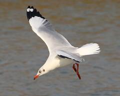 Brown headed Gull (binoy_v_k) Tags: gull birds brownheadedgull
