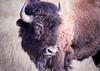 American Bison - Humbly Large (BernieErnieJr) Tags: americanbison beast colorado coloradowildlife wildlife rockymountianarsenalnationalwildliferefuge commercecity frontrange rockymountains greatphotographers teamsony sony70400mmg2 sonya77mkii