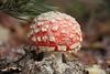 (orbit9000) Tags: pilz mushroom autumn fly agaric fliegenpilz glück glückspilz amanita muscaria juliane myja bokeh natur nature green grün rot red hochweitzschen wald wood wiese herbst funghi fungi park outdoor depth field