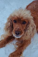 Snow (Gergana Bogdanova) Tags: snow dog fluffy snowy fur playfull orange ears nose paw snout happiness happy