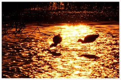 Sunset walking in gold (C. Alice) Tags: autofocus water light orange nature hongkong 2016 canonef300mmf4lisusm canoneos7d eos7d canon 300mm wetland reflection bird shadow best favorites50