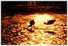 Sunset walking in gold (C. Alice) Tags: autofocus water light orange nature hongkong 2016 canonef300mmf4lisusm canoneos7d eos7d canon 300mm wetland reflection bird shadow best