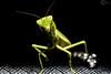 mantis (PhilPhotosity) Tags: mantis prayer bug bugs insect macro poser macrophotography tamron nikon australia cute