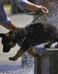 Pup's Decision (swong95765) Tags: dog puppy water wet spray jump exit leave leash fountain
