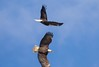 7K8A9004 (rpealit) Tags: scenery wildlife nature new york state bald eagles bird