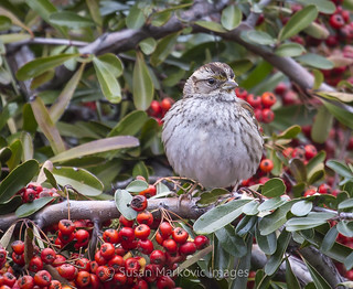 White-throated Sparrow (tan-striped morph) on a Pyracantha Bush (EXPLORED)