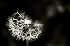 Exposed (DrQ_Emilian) Tags: dandelion flower plant nature macro closeup detail light contrast bokeh