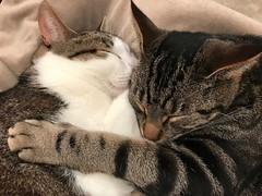 Cats napping and cuddling on a cold winter morning. (AndyS03) Tags: cat cats pet pets animal iphone iphone7 iphone7plus cute aww face catseyes tabbycat