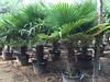 IMG_5331 (palmexpert_plants) Tags: best quality trees viveros vivers vivaio palmen baumschule nursery kwekerij trachycarpus chamaerops excelsa fortunei chusanpalm chusan palm espana holland belgium germany luxemburg france dubai quatar iran irak