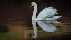 a pair of white swans live on the Mill Dam (2) (grahamrobb888) Tags: nikon nikond800 sigma sigma120400mm scotland perthshire dunkeld water wet reflection