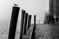 on the waterfront / follow the piles (Özgür Gürgey) Tags: 2016 24120mm bw d750 elbe hamburg nikon stpauli architecture birds cobblestone fog harbor piles seagull ship street waterfront