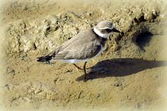 Juvenile Ringed Plover (Deida 1) Tags: juvenileringedplover algarve shorebird charadriushiaticula