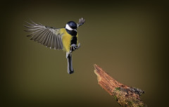 Parus major (Nickerzzzzz - Thanks for stopping by :)) Tags: ©nickudy nickerzzzzz theartofphotography photography canon5d3 ef50mmf18stm photograph avian greattit parusmajor bird wildlife wings rspb nature feathers outdoor
