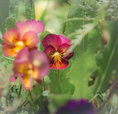 Hidden Treasure (glo photography) Tags: gloriasalvanteglophotography lakecounty northerncalifornia bloom depthoffield flora flower garden garden2016 johnnyjumpup magenta outdoor pink plant spring viola yellow
