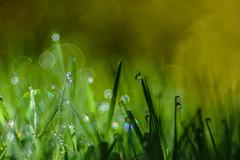 The Wonder of tiny Lightballs (*Capture the Moment*) Tags: 2016 backlight bokeh droplets drops farbdominanz gegenlicht gras grass sonynex7 sun trioplan28100neo tropfen green grün