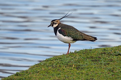 Lapwing..... (klythawk) Tags: lapwing vanellusvanellus grass water winter nature wildlife green blue brown red gold black white olympus em1mkll omd 100400mm panasonic troutlake colwickpark nottingham klythawk