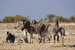 DSC09478 - NAMIBIA 2013 (HerryB) Tags: namibia afrika südafrika südwest afrique africa 2013 sony 77 dslr tamron sigma alpha bechen heribert fotos photos flickr photography herryb heribertbechen reise safari rundreise toyota hilux südwestafrika outdoor aoba etosha lodge onguma wildlife sanctuary schutzgebiet parc park nationalpark