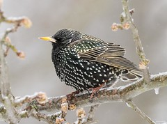 European Starling (swmartz) Tags: birds bird outdoors nikon nature newjersey mercercounty