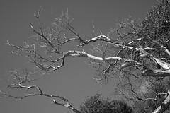 Reach for the sky (Carlos A. Aviles) Tags: 20172912lascasitasvillageconsquistador blackandwhite blancoynegro palomino fajardo puertorico tree arbol seco dead