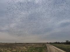 Starlings and Road (stevedewey2000) Tags: birds bird starlings starling murmuration cloud observationpost road salisburyplain wiltshire sigma2470 track oldroad