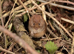 doing the bank vole hand jive (westoncfoto) Tags: