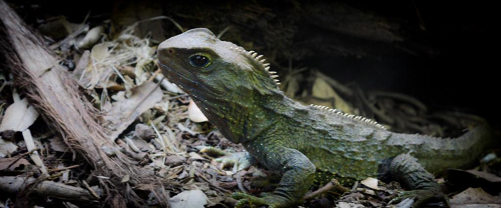 Tuatara Laurenscarlier Tags Dinosaur Lizard Aucklandzoo