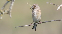Linotte mlodieuse, Af (R, 2014-05-04_27) (th_franc) Tags: oiseau linottemlodieuse