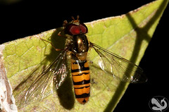 Episyrphus balteatus Marmalade Hoverfly (Moby Shark) Tags: garden pollen hoverfly diptera episyrphusbalteatus marmaladehoverfly