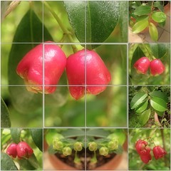 (Tlgyesi Kata) Tags: red fruit leaf mosaic budapest bud botanicalgarden mozaik fvszkert botanikuskert syzygiumaustrale brushcherry watergum withcanonpowershota620 scrubcherry creeksatinash creeklillypilly eugeniaaustralis