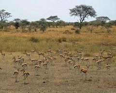 Tanzania (Serengeti National Park) Herd of Thomson's gazellas