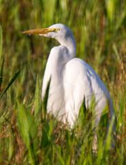 20150908-_74P7130.jpg (Lake Worth) Tags: bird nature birds animal animals canon wings florida outdoor wildlife feathers wetlands everglades waterbirds southflorida 2xextender sigma120300f28dgoshsmsports