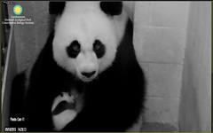 Pandas 2015-09-18 at 14.28.13 PM (MyFoto:)) Tags: cub smithsonian nationalzoo staring pandas ccncby