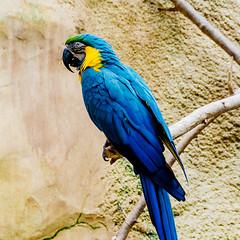 (Jake Pfaffenroth) Tags: blue bird animal zoo parrot sigma1770f284 nikond5100