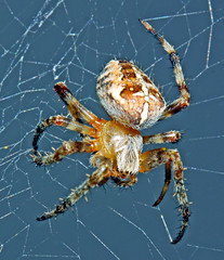 Spider (1selecta) Tags: blue sky eye hair spider eyes legs body web cobweb cob hairs joints abdomen spidersilk cephalothorax cephalochordata legsegments